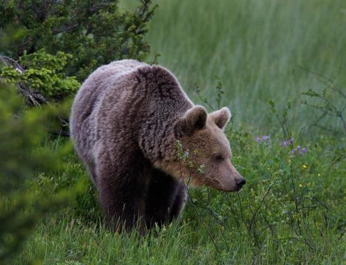 Von schnellen Wassern, der weiten Taiga und kraftvollen Braunbären: Erlebe das wilde Finnland (8 Tage)