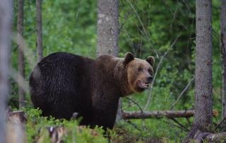 abenteuerreich. erlebnistouren, estland, geführte rundreise, Braunbär, Bär, Wildtierbeobachtung,