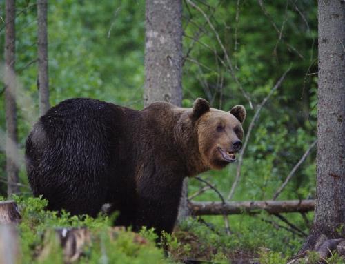 Bären, Elche und Robben in Estland beobachten